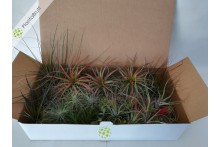 Tillandsia Mix 50 plantas