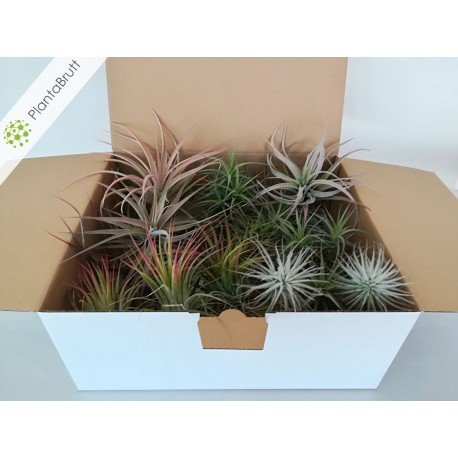 Tillandsia Mix 30 plants