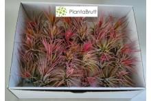 Tillandsia scaposa Mix / 30 plantas