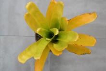 Aechmea spec. gelb