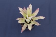 Aechmea pineliana var. pineliana