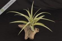 Tillandsia flexuosa var. vivipera