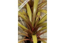 Vriesea amethystiana